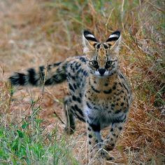 Serval.  #Cats #Nature