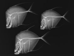 X-Ray Vision: Fish Inside Out, a collection of 40 images of X-rayed underwater creatures–including a seahorse, a crisscross prickleback and a viper moray eel–now open at the museum in Washington, D.C.