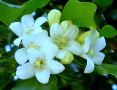 jasmine- awoke to thousands and thousands of blossoms in my pool and yard, it looks like it snowed.  7/23/12