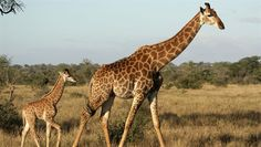 Kruger National Park enjoys iconic status around the world as home to some of the best wildlife in South Africa. Safari and accommodation options include. Africa Theme Party, South Africa Holidays, Kruger National Park, Safari, Beautiful Gardens, Animals Beautiful, Backpacking, Party Themes, Wildlife