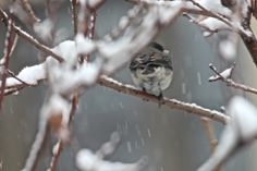 """Yesterday's snowstorm has been called """"Winter's Last Hurrah.""""  I witnessed sleet-like rain turning into a heavy wet snowfall in my garden. Snow piled quickly atop all my bird feeding stations and upon the branches of my shrubs as well as my trees. I almost missed seeing a lone dark-eyed junco, because his/her white belly plumage blended in with the snow. View 2 of 3. Full story @ https://www.facebook.com/TheLastLeafGardener/posts/790615030987872"""