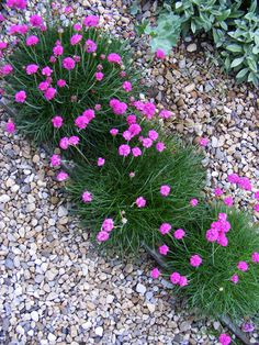 A pretty row of Armeria edges the path of the Coastal Garden - rock/gravel garden ideas