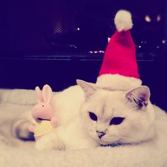 Happy Holidays! | Makoto – Silver Shaded British Shorthair