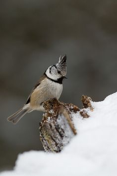 Crested Tit Beautiful Winter Scenes, Beautiful Birds, Latina, British Wildlife, Sexy, Bird Feathers, Hot, Horses, Animals