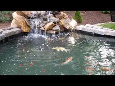 Koi, Channel Catfish, Bullhead Catfish, Comets, Sunfish, Bluegill,  Crayfish,. TilapiaBackyard PondsCatfishKoiChannelWater FeaturesCichlids
