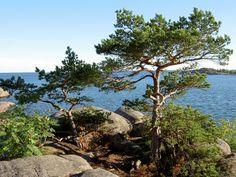 Hanko Finland. I love these sea side pines.