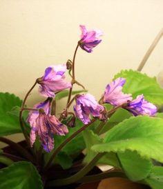 Bol's Evening Irja African Violets