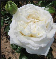 "Rosa ""White Perfumella"" - very fragrant, disease-resistant, repeat-flowering white rose."