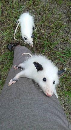 Opossum, my Possum