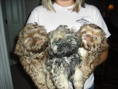 Shihtzu puppies... 2 boys look like the dad, girl like the mom... soo sweet