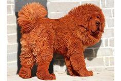 Mastif tybetański najmodniejszym psem