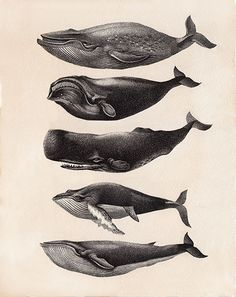 Black and white ink illustration of different species of whales Gravure Illustration, Japon Illustration, Botanical Illustration, Fish Drawings, Animal Drawings, Drawing Animals, Whale Tattoos, Ink Tattoos, Arrow Tattoos