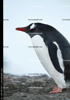 http://www.photaki.com/picture-antarctic-penguins-standing_697267.htm
