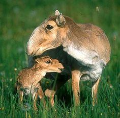 """Saiga Antelope mother and foal.  """"With buggy eyes and a peculiar snout the saiga antelope has a face only a mother could love. This fleshy, humped nose is well suited for the cold and dusty environment. They used to inhabit vast portions of the northern Eurasian continent and North America as well but they have been put on the critically endangered species list because there are not many left in the world. Nowadays they are mainly found in Mongolia and Kazakhstan."""""""