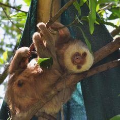Two Toed Sloth, Sloths, Ferret, Goats, Animals, Animales, Animaux, Ferrets, Animal