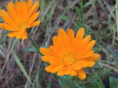 Calendula, Medicinal Plants, Herbal Medicine, The World, Herbs, Index Cards, Healing Herbs, Herb
