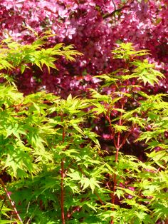 'coral bark' japanese maple with blooming 'royal raindrops®' crabapple photo by Cindy Wint-Johnson