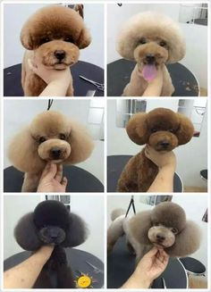 Poodles are generally seen in motion pictures, as the pet of choice of an elegant character, or in canine reveals showcasing their perfectly groomed hair. Dog Grooming Styles, Dog Grooming Salons, Dog Grooming Tips, Poodle Grooming, Dog Grooming Business, Cockapoo Grooming, Schnauzer Grooming, Beard Grooming, Cortes Poodle