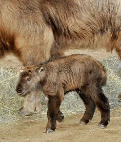 This takin kid was born at the LA Zoo on Feb. 12. The zoo describes takins as a combination of a bison's body, a wildebeest's horns, a moose's nose, a bear's tail and a mountain goat's feet and agility. Its closest relative is the musk ox. This Sichuan takin is also known as the Tibetan takin, and is native to Tibet and parts of China. Born 12 Feb 2014, L.A.