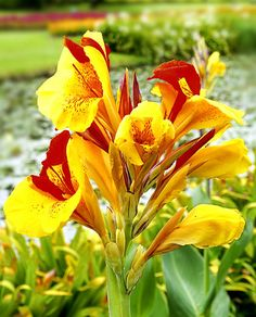 Know All about the Varieties of Canna Lily - Gardenerdy Unusual Flowers, Unusual Plants, Colorful Flowers, Beautiful Flowers, Canna Flower, Canna Lily, Flower Pots, Tropical Garden, Tropical Plants