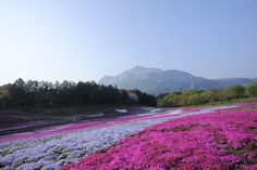 Want to see the shibazakura this spring? Try this one-day itinerary featuring a spectacular flower festival, a brand-new onsen resort and dinner on a traveling restaurant.