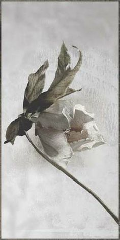 """Flowers In Neutral Moment-2 """"Christmas Rose"""" Archival pigment print Photo by Soichi Oshika"""