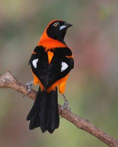 orange-backed troupial(photo)   Icterus croconotus (Icteridae) - Brazil