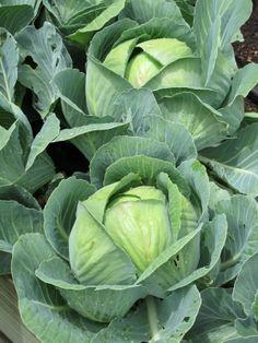 Cabbage Vegetable, Leaf Vegetable, Vegetable Basket, Vegetable Garden, Fruit And Veg, Fruits And Vegetables, Agriculture Projects, Cabbage Flowers, Still Life Pictures