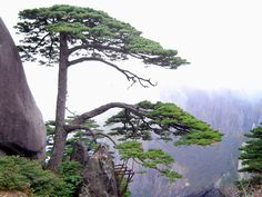 Chinese Pine Tree | ... Pine Trees, known as Welcome Pine Trees at Yellow Mountains in China