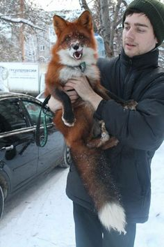 A research group in russia spent the last years breeding foxes to remove the wild genes and make purely domestic foxes. To fund their continuing research, they are selling these foxes as house pets.<<< I NEED A DOMESTIC FOX Cute Baby Animals, Animals And Pets, Funny Animals, Beautiful Creatures, Animals Beautiful, You're Beautiful, Domestic Fox, Fuchs Baby, Tierischer Humor