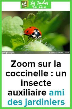 Zoom sur la coccinelle : un insecte auxiliaire ami des jardiniers