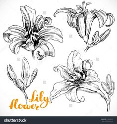 stock-vector-lily-flowers-and-buds-ink-drawing-on-white-paper-set-313628525.jpg…