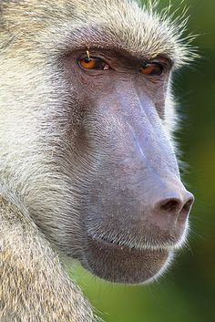 Baboon portrait by Sarah Joy L.