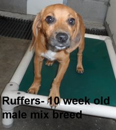 ***TO BE DESTROYED 7/15/14*** Ruffers is just 10 weeks old and a happy puppy. Please don't leave this nice dog in the shelter. Call Silvia and Debbie now,,,,,Silvia is 910-876-0539 and Debbie is 339-832-0806. If Silvia's mailbox is full you can Text her. Transportation is generally available up and down the East Coast from NC, VA, MD, NJ, PA, NY and the North East.