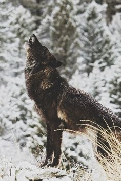 winter wolf howl   animal + wildlife photography #wolves