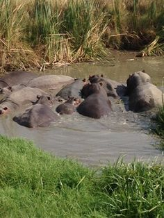 Serengeti hippos - Serengeti safari traveleatlove.com
