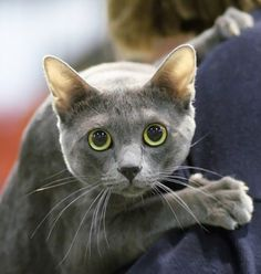 The Korat (pronunciation- 'ko-RAHT') is a domestic cat originating in Thailand known for its unique bluish-gray short coat which has a distinct silvery gloss. I Love Cats, Cute Cats, Funny Cats, Supernatural, Russian Blue, Tier Fotos, Cat Boarding, Grey Cats, Domestic Cat