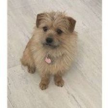Col. Potter Cairn Rescue Network | Cairnrescue Cairn Terrier Mix, Terrier Rescue, Terrier Breeds, Shelter Me, Foster Mom, Dog Store, Pet Search, Pet Adoption, Animal Adoption