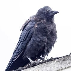 """June Hunter (@junehunterimages) on Instagram: """"Winter is Coming. You need to imagine the voice of John Snow for full effect. #crow #gameofthrones…"""""""