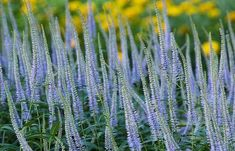 Veronicastrum virginicum 'Lavendelturm' - Top ten plants of the Dutch wave - Telegraph