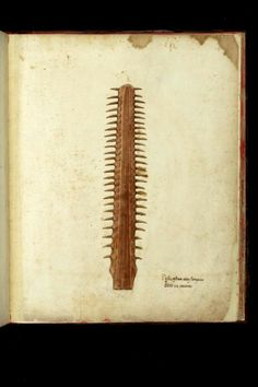 Ulisse Aldrovandi 1522 – 1605 | NUBA