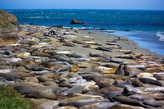 Elephant seals lying just off of the pacific coast highway in California.