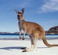 #kangaroo #animals #wildlife #fauna #westernaustralia #cute #australia
