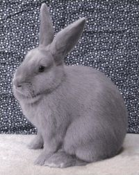 lilac rabbits - my favorite breed! <3