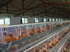 The broiler cages are specially designed for broiler chicken cages. In order to overcome the chest inflammation caused by the hard bottom of cages, broiler cages are made of high-quality plastics Chicken Bird, Chicken Cages, Poultry Cage, Broiler Chicken, Inflammation Causes, Building A Chicken Coop, Coops, Backyard, Livestock