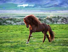 Icelandic Horse- talk about beauty...