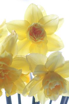 I love Daffodils, they are my favorite Spring flower.