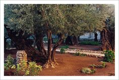 Gethsemane. Olive trees over two thousand years old. Jerusalem, Israel