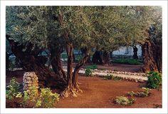 Gethsemane. Olive trees over two thousand years old. Jerusalem, Israel