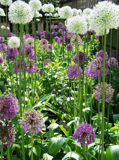 Purple white allium